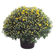 Herbst-Chrysantheme Höhe ca. 40 cm Topf-Ø ca. 19 cm Chrysanthemum indicum Angebot: Im aktuellen Prospekt bei OBI in Dorum