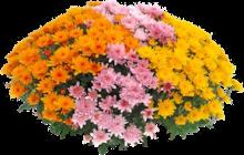Chrysanthème Pompon multicolore à Jardiland dans Triel-sur-Seine