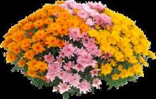 Chrysanthème Pompon multicolore à Jardiland dans Saint-Brice-sous-Forêt